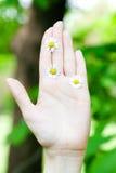 camomile γυναίκες χεριών Στοκ Φωτογραφία