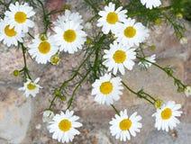 camomile διάνυσμα matricaria απεικόνισης λουλουδιών chamomilla Ανθίζοντας camomile τομέας Camomile της Daisy ως ΤΣΕ Στοκ εικόνες με δικαίωμα ελεύθερης χρήσης