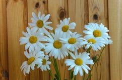 camomile διάνυσμα matricaria απεικόνισης λουλουδιών chamomilla Στοκ Φωτογραφίες