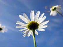 Camomile και ουρανός Στοκ εικόνα με δικαίωμα ελεύθερης χρήσης