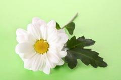 camomile λευκό Στοκ Εικόνες