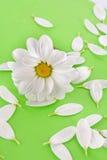 camomile λευκό Στοκ Φωτογραφίες