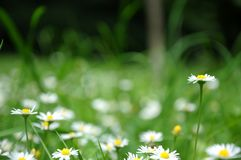 Camomile λουλούδια σε ένα πράσινο υπόβαθρο Στοκ εικόνα με δικαίωμα ελεύθερης χρήσης