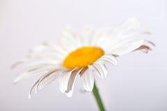 Camomile λουλούδι σε ένα άσπρο υπόβαθρο Στοκ Εικόνες