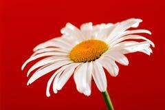 Camomile λουλούδι σε ένα κόκκινο υπόβαθρο Στοκ φωτογραφίες με δικαίωμα ελεύθερης χρήσης