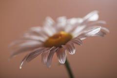 Camomile λουλούδι σε ένα μπεζ υπόβαθρο Στοκ Φωτογραφίες