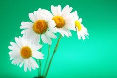 camomile λουλούδι Στοκ εικόνες με δικαίωμα ελεύθερης χρήσης