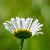 Camomile λουλουδιών λιβάδι Στοκ Εικόνες