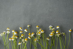 Camomile λουλούδια σε μια σειρά σε ένα συγκεκριμένο υπόβαθρο Στοκ εικόνες με δικαίωμα ελεύθερης χρήσης