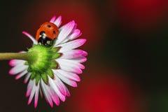 Camomile λουλούδι με το ladybug Στοκ Φωτογραφία