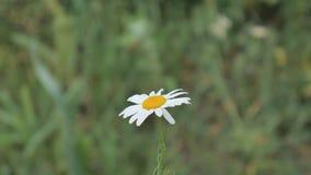 Camomile λουλούδι στον τομέα σε Vitru φιλμ μικρού μήκους
