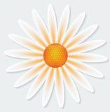 Camomile λουλούδι στο γκρίζο υπόβαθρο Στοκ Φωτογραφίες