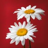Camomile λουλούδι στο κόκκινο Στοκ Εικόνες