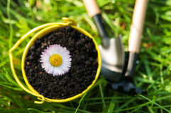 Camomile λουλούδι Στοκ Εικόνες