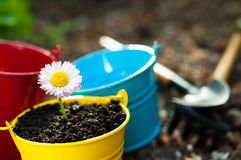 Camomile λουλούδι Στοκ Φωτογραφία