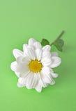 camomile πράσινο λευκό Στοκ Φωτογραφία