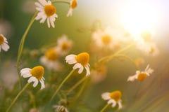 Camomile στην ηλιοφάνεια Στοκ Φωτογραφίες
