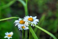 camomile το ανθίζοντας πεδίο ημέρας το αγροτικό καλοκαίρι της Sally λουλουδιών Στοκ Φωτογραφίες