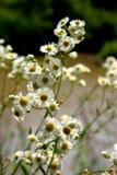 camomile φυσικό Στοκ Φωτογραφίες