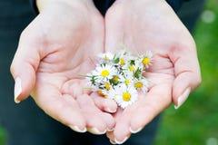 camomile χέρια Στοκ Φωτογραφίες