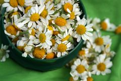 Camomile. Flowers on the green plate Stock Images