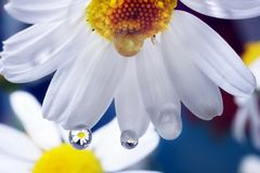 Camomile. On a blue background Royalty Free Stock Photos