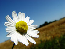 Camomile. Just couldn't pass by Royalty Free Stock Photo