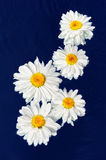 Camomile. Five white camomile on a dark blue background Royalty Free Stock Photos