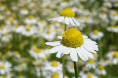 Camomile. Field of camomile flowers in bavaria Stock Photo