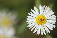 Camomile. Flower of a chamomile close up in natural conditions stock images