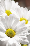 Camomile. On a background of the sky Stock Photo