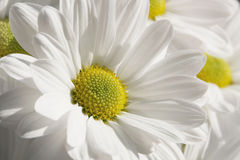 Camomile. On a background of the sky Royalty Free Stock Image