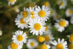 Camomile royalty free stock photo