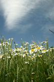 Camomile. On a blue sky Royalty Free Stock Images
