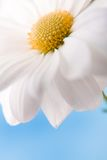 Camomile. Daisy in close up with empty space for text Stock Images