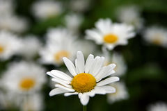 Camomile. White camomile on a background a green foliage royalty free stock image