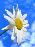Camomile. On a background of the sky Royalty Free Stock Photo