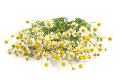 Camomile. On a white background Stock Images