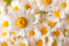 Camomile Stock Images
