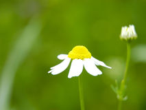 Camomile. On meadow Stock Images