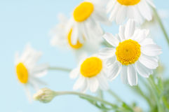 Camomile. Fresh camomile flowers on a delicate blue background Stock Photography
