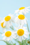 Camomile. Fresh camomile flowers on a sky-blue background Stock Photos