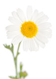 Camomile. Isolated on white background Royalty Free Stock Photos