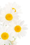 Camomile. Isolated on white background Stock Photos