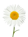 Camomile. It is isolated on a white background Royalty Free Stock Photos