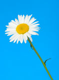 Camomile. It is isolated on a blue background Royalty Free Stock Images