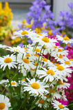 Camomile. Beautiful camomile in the garden Stock Images
