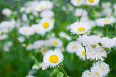 Camomile. Summer flowers camomile blossoms with beautiful background blur Stock Image