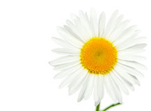 Camomile. It is isolated on a white background Stock Images