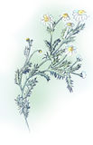 Camomile. Stock Photography